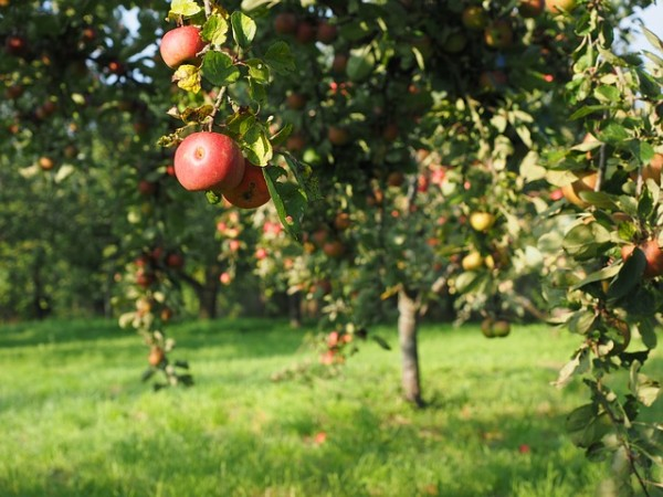 apple-693995_640
